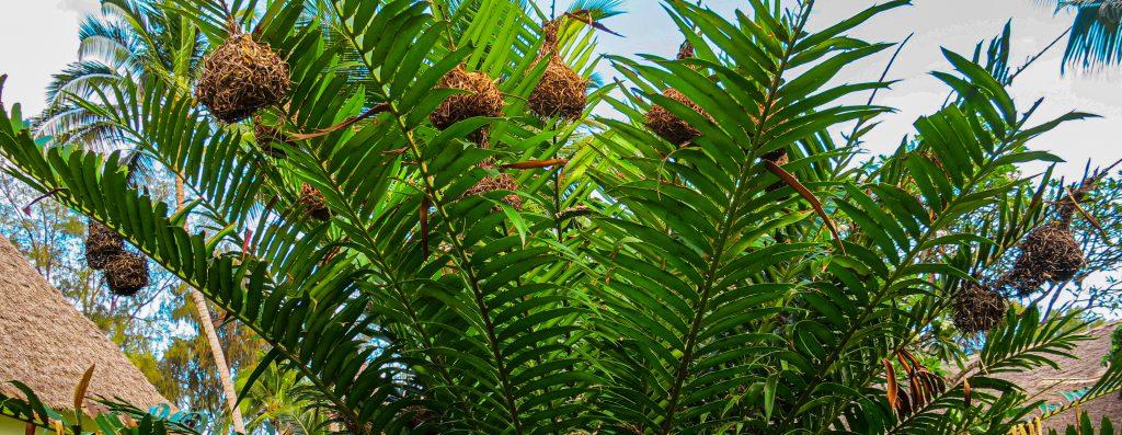 Webervögel Sansibar
