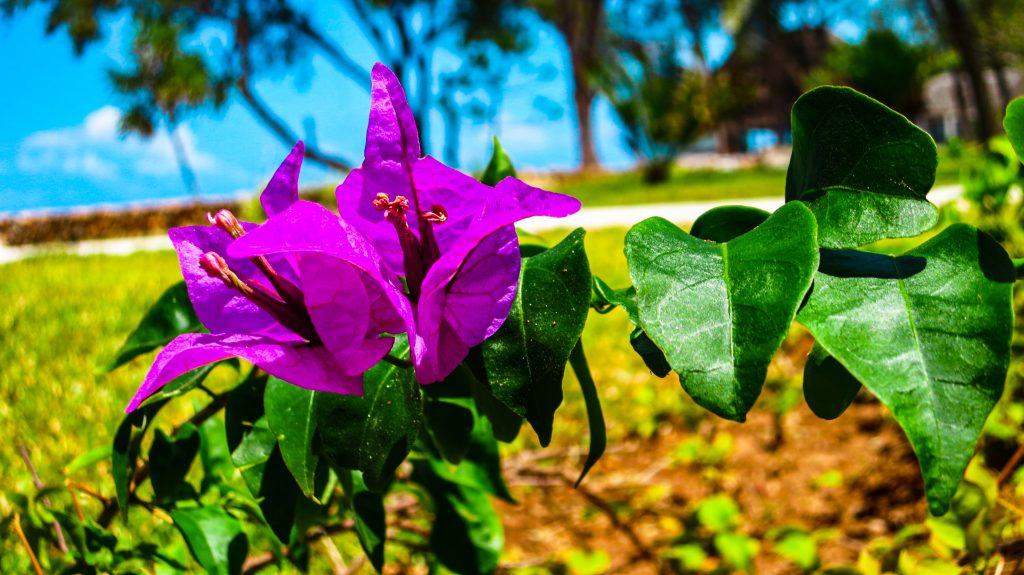 Blumen Sansibar